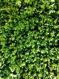 Grün lässt Heckenhintergrund Lizenzfreies Stockbild