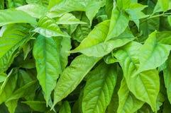 Grün lässt Hintergrund als Beschaffenheit Lizenzfreie Stockbilder
