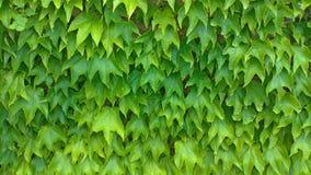 Grün lässt Hintergrund Grüner vegetativer Hintergrund, grüne Wand von Blättern stockbilder