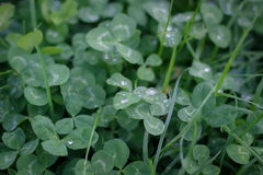 Grün lässt Hintergrund Kleeblatt mit Tautropfen Stockfotos