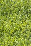 Grün lässt Hintergrundbeschaffenheit Stockfotografie