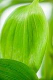 Grün lässt Nahaufnahme Lizenzfreie Stockbilder