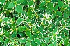 Grün lässt natürlichen Hintergrund oder Beschaffenheit Stockbilder
