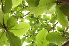 Grün lässt Natur auf Baum, Hintergrund des Grüns Lizenzfreies Stockbild