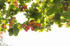 Grün lässt Natur auf Baum, Hintergrund des Grüns Stockfotografie