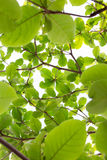 Grün lässt Natur auf Baum, Hintergrund des Grüns Stockbild
