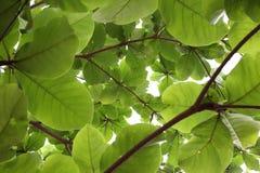 Grün lässt Natur auf Baum, Hintergrund des Grüns Stockfotos