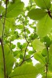 Grün lässt Natur auf Baum, Hintergrund des Grüns Lizenzfreie Stockfotografie