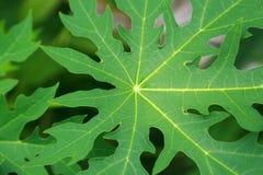 Grün lässt Papaya Stockbilder