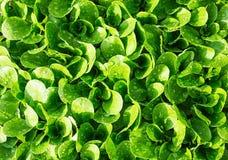 Grün lässt Salat im Garten des Hausgartens Stockbild