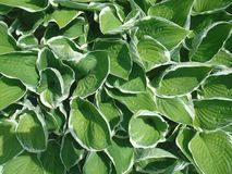 Grün lässt Tapete 04 stockfotografie