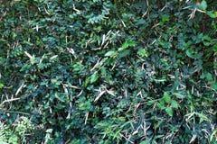Grün lässt Wand Lizenzfreie Stockbilder