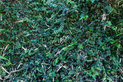 Grün lässt Wand Stockfoto