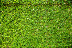 Grün lässt Wand für Hintergrund Lizenzfreie Stockfotografie