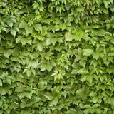 Grün lässt Wand oder Hecke bei Sunny Summer Day stockfoto