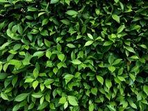 Grün lässt Wandhintergrund lizenzfreies stockbild