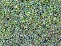 Grün lässt Wandhintergrund Lizenzfreie Stockfotografie