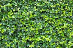 Grün lässt Wandhintergrund Lizenzfreies Stockfoto
