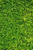 Grün lässt Wandhintergrund Stockfoto