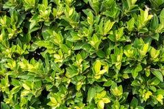Grün lässt Wandhintergrund Stockfotos
