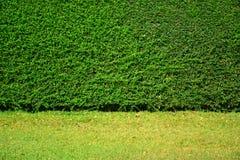 Grün lässt Wandhintergrund auf grüner Rasenfläche Stockbild