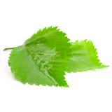 Grün machen Sie Blätter naß Lizenzfreie Stockfotografie