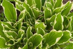 Grün mit Weiß stellt Hostablätter im Frühjahr ein Lizenzfreies Stockfoto
