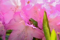 Grün prügeln und Rhododendronblume Stockfoto