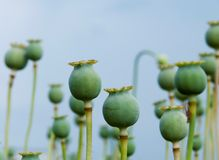 Grün schachtelt Mohnblumen Stockbild