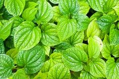 Grün treibt Hintergrund Blätter Lizenzfreies Stockfoto