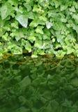Grün treibt Reflexion Blätter lizenzfreies stockbild