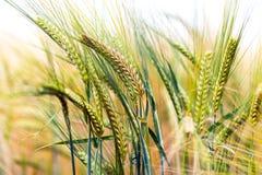 Grün u. Goldernte-Feld Stockfotos