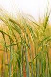 Grün u. Goldernte-Feld Stockfotografie
