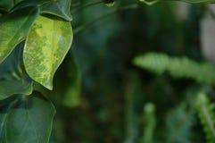 Grün und gelb färbende Blätter, die einen Hintergrund des Grüns gestalten stockbild