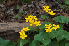 Grün und Gold Marsh Marigold stockfoto