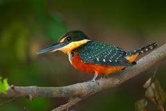 Grün-und-rufous Eisvogel, Chloroceryle-inda, Grüner und Orange Vogel, der auf Baumast, Vogel im Naturlebensraum, Baranco-Alt sitz lizenzfreies stockfoto