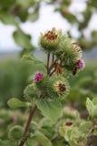 Grün und Violet Thistle mit Biene, Tschechische Republik, Europa stockbild