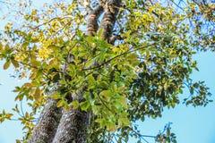 Grün verlässt auf dem Baum mit Hintergrund des blauen Himmels lizenzfreies stockbild