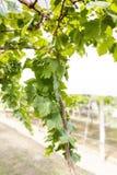 Grün verlässt auf der Rebe im Garten Lizenzfreie Stockfotos