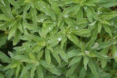 Grün verlässt auf einem Busch nach einem leichten Regen lizenzfreies stockfoto