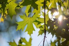 Grün verlässt gegen die Sonne im Wald Lizenzfreies Stockbild