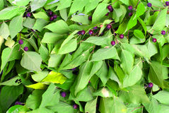 Grün verlässt mit purpurroten Beeren auf lokalisiertem weißem Hintergrund Lizenzfreie Stockfotos