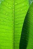 Grün verlässt mit Regentropfen natürlicher Hintergrund oder Beschaffenheit Lizenzfreies Stockbild