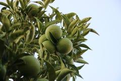 Grün verzweigt sich Kalkes mit Früchten lizenzfreie stockfotos