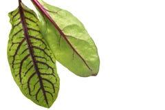 Grün zwei mit Rot adert Kopfsalat Stockbilder