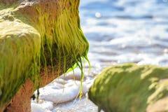 Grünalgen mit unscharfem Seehintergrund Lizenzfreies Stockbild