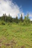 Grünbäume des blauen Himmels Stockbilder