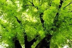 Grünbantambaum im Frühjahr stockfoto