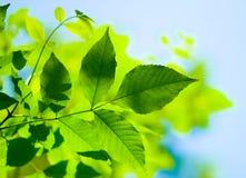 Grünblätter Lizenzfreie Stockbilder