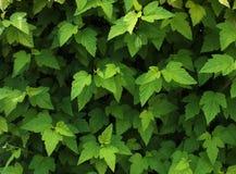 Grünblätter Lizenzfreies Stockbild